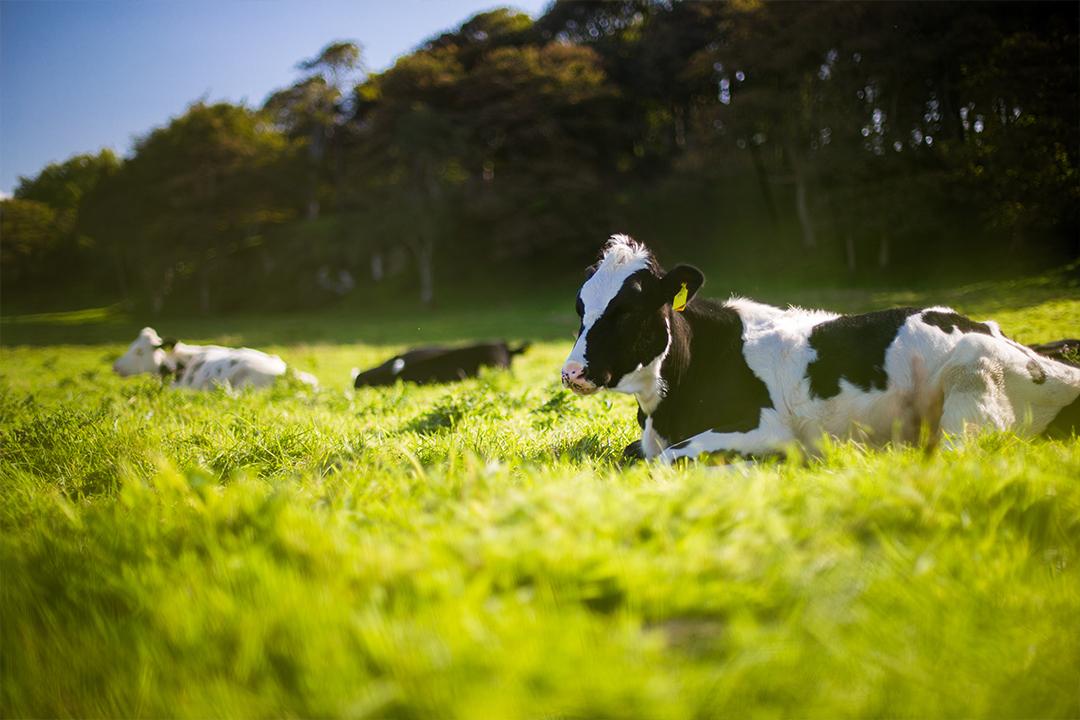 牧草地に座る牛